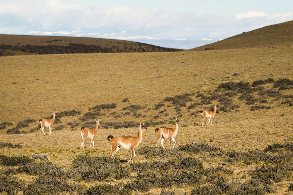 [[ First llamas(guanacos)///First llamas(guanacos)/// Prvé lamy :)]]